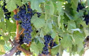 Wine Grapes on the Vine at Umiker Vineyards in Lewiston, Idaho