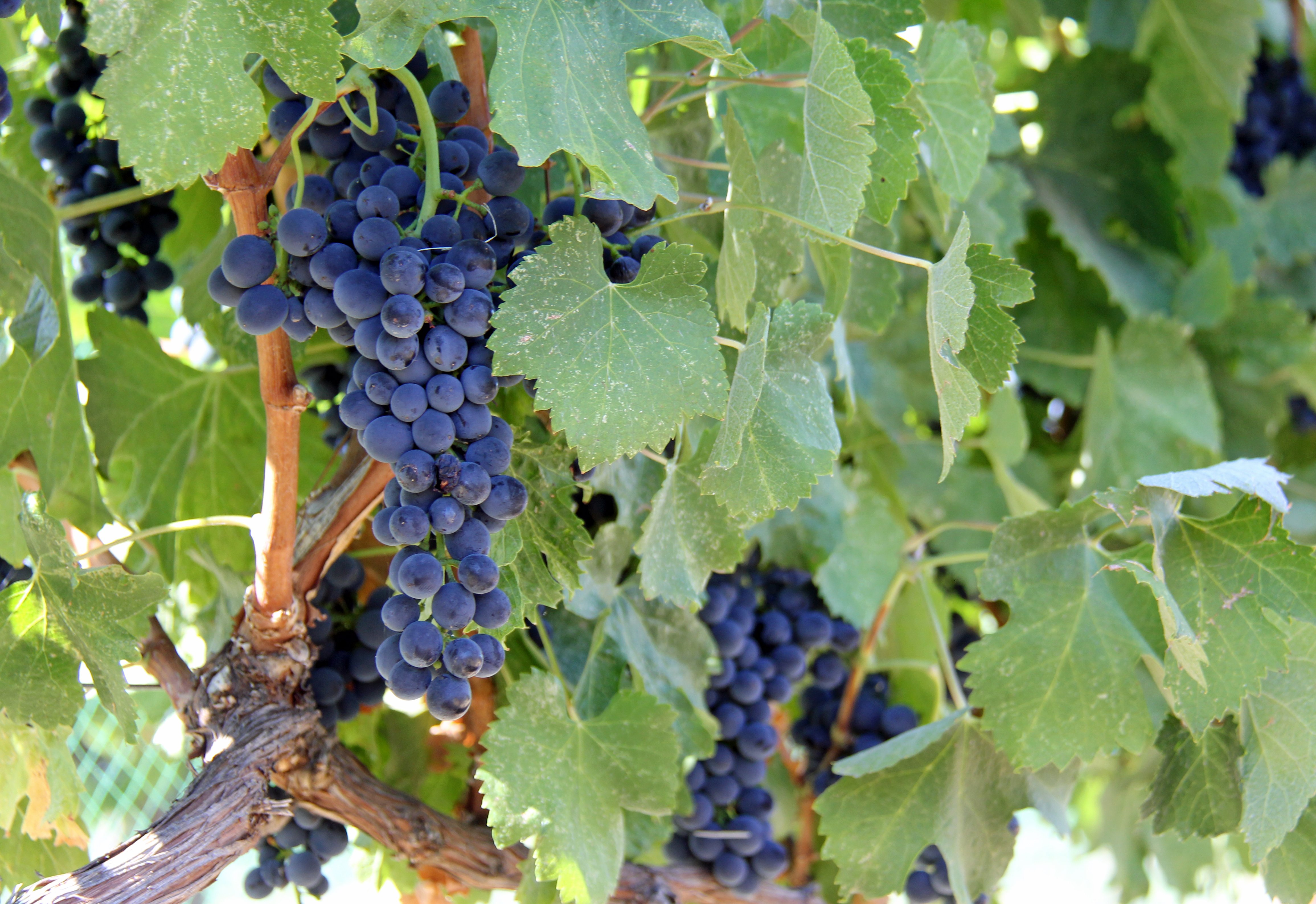 Grapes in the Umiker Vineyard in Lewiston, Idaho